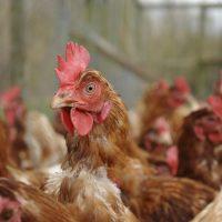 Battery chicken farming